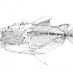 Fish Blueprint No. 17